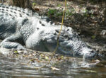 This year has been the deadliest on record for crocodile attacks in the NT