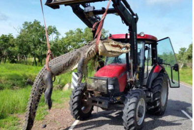 Croccodile killed by Kakadu rangers